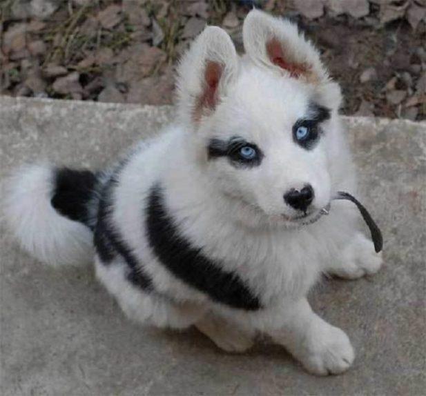 У этих собак самый необычный окрас шерсти!