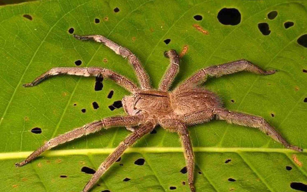 Внимание ! Бразильский странствующий банановый паук !!!