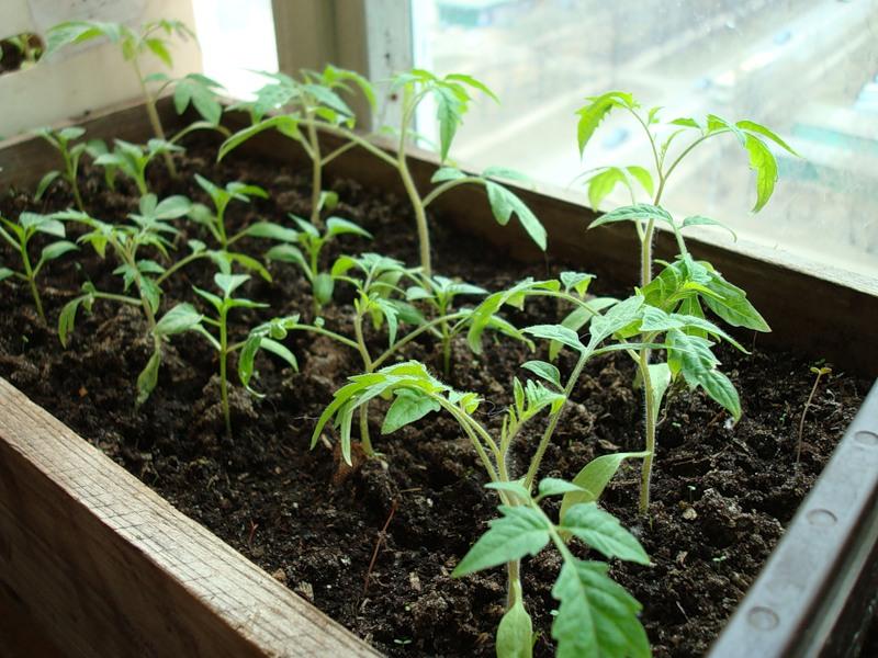 Вы навсегда забудете о магазинных помидорах! Фермер раскрыл секрет, как их можно выращивать дома