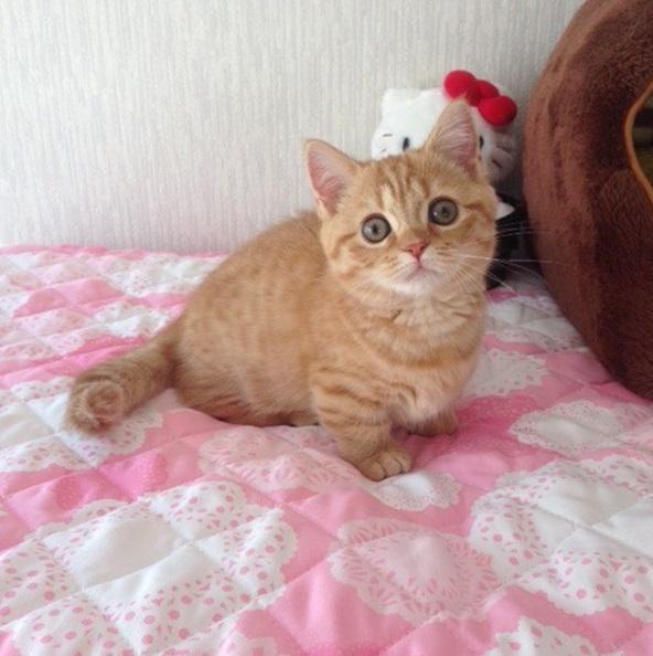 21 причина, по которой порода кошек манчкин слишком умилительна и прекрасна для нашего мира