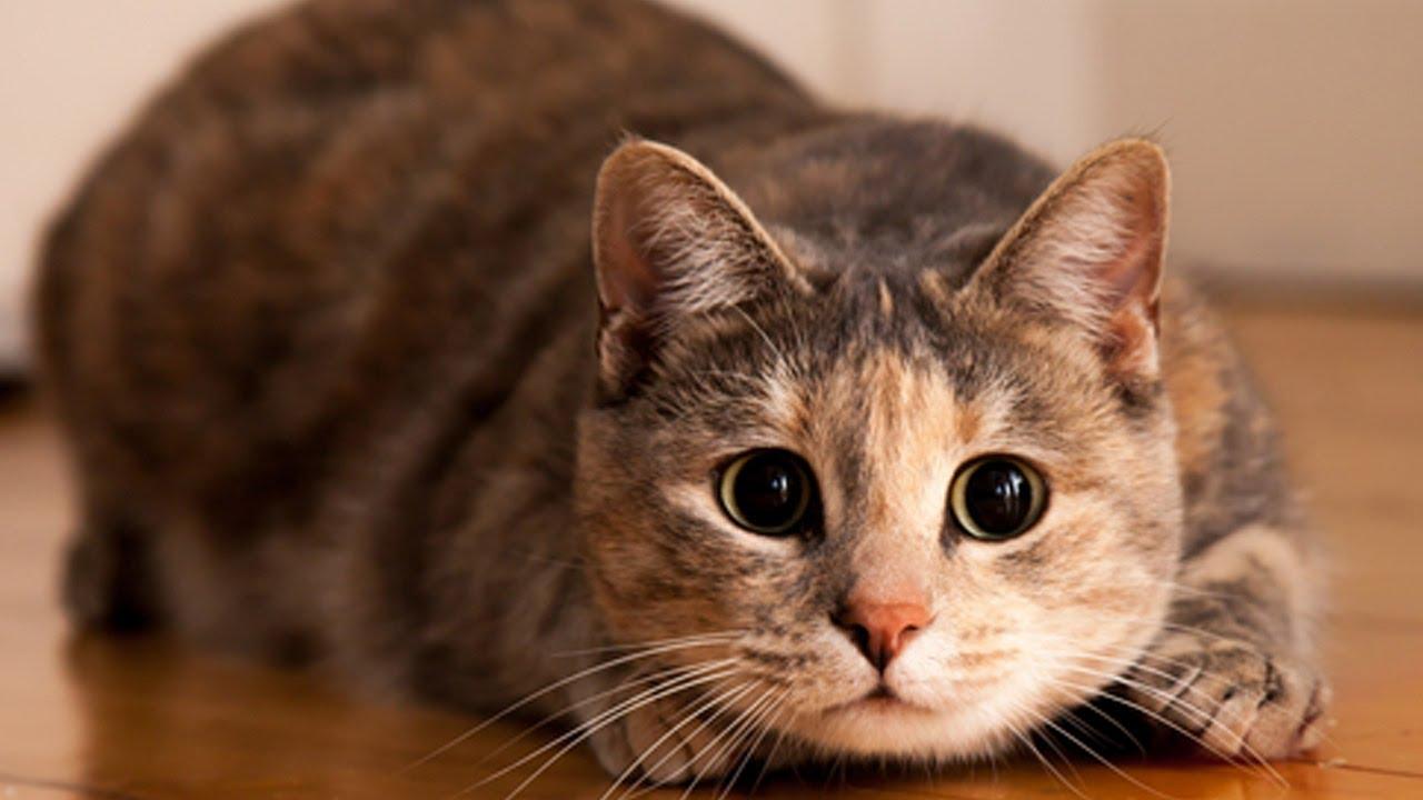 Какую пользу приносят кошки своим хозяевам?
