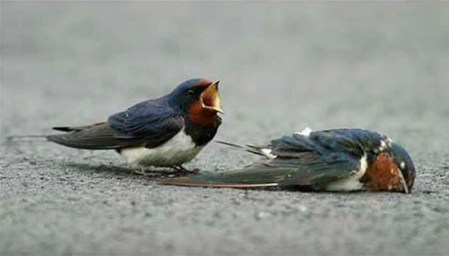 Когда этого воробья сбила машина, её партнер делает то, чего никто не ждет от птицы