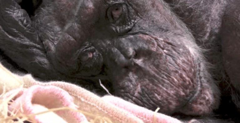 Шестидесятилетняя шимпанзе почти прощается с жизнью. Но когда она видит, кто к ней подошёл — её переполняют эмоции