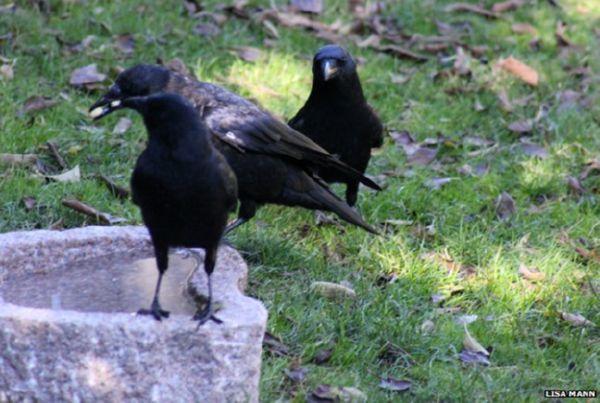 Узнайте, как вороны отблагодарили девочку, которая их постоянно кормила