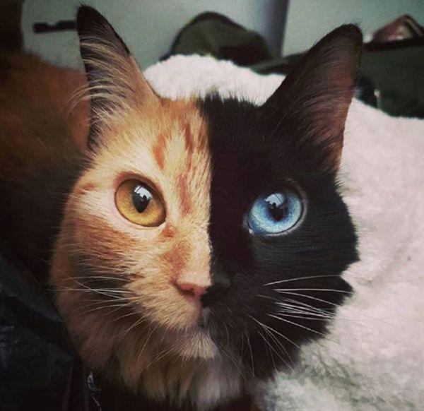 Прекрасный кот черепахового окраса, у которого две стороны имеют разные цвета
